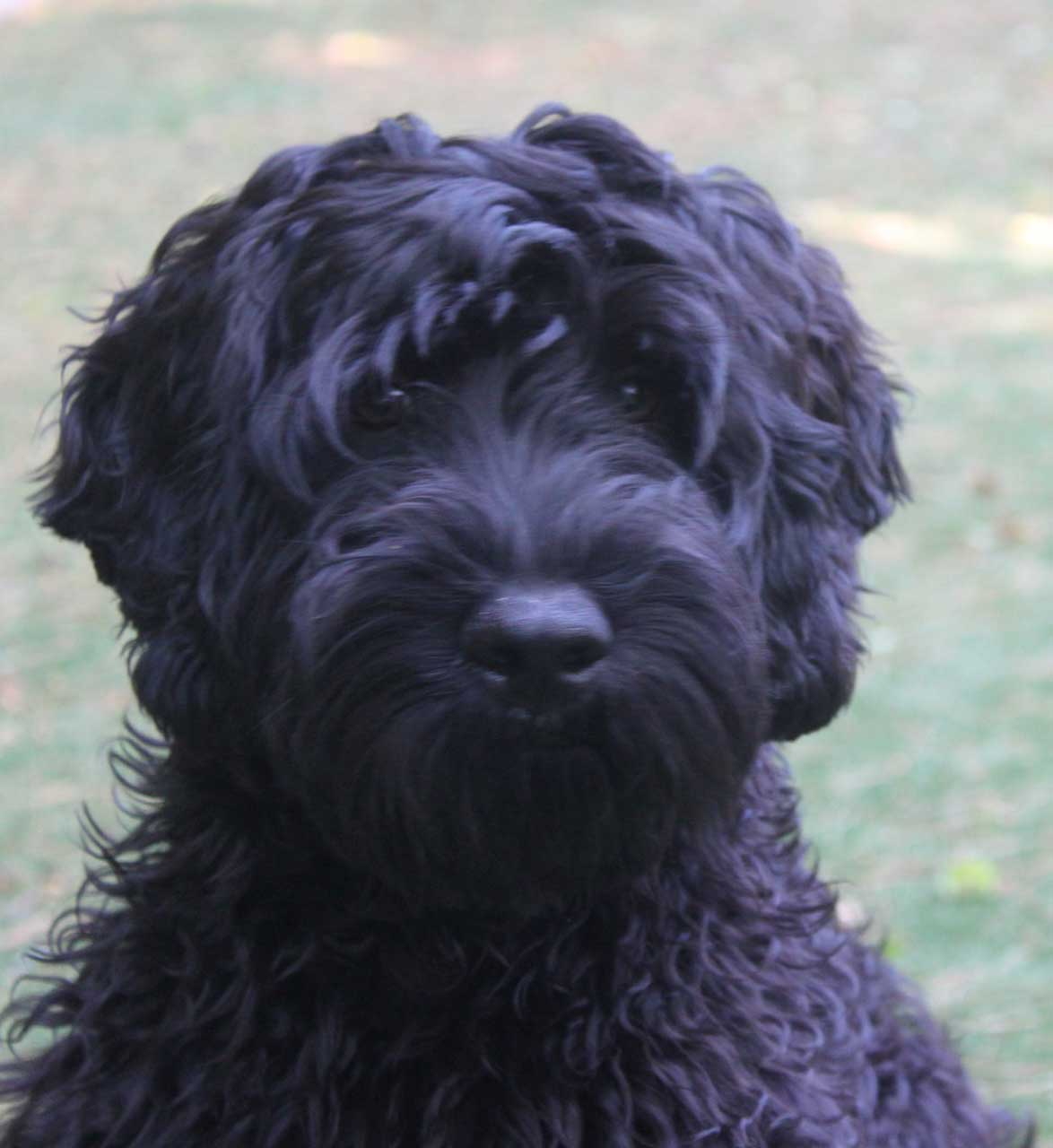 The gallery for --> Full Grown Black Miniature Labradoodle