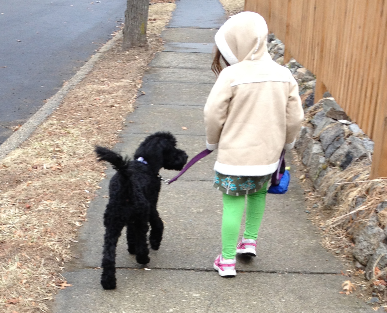 Tango Wool Labradoodles Labradoodle Breeders In Massachusetts